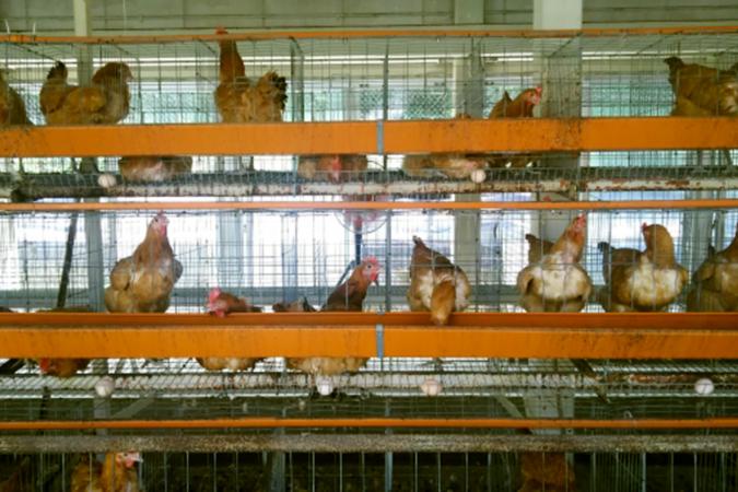 恵那の養鶏