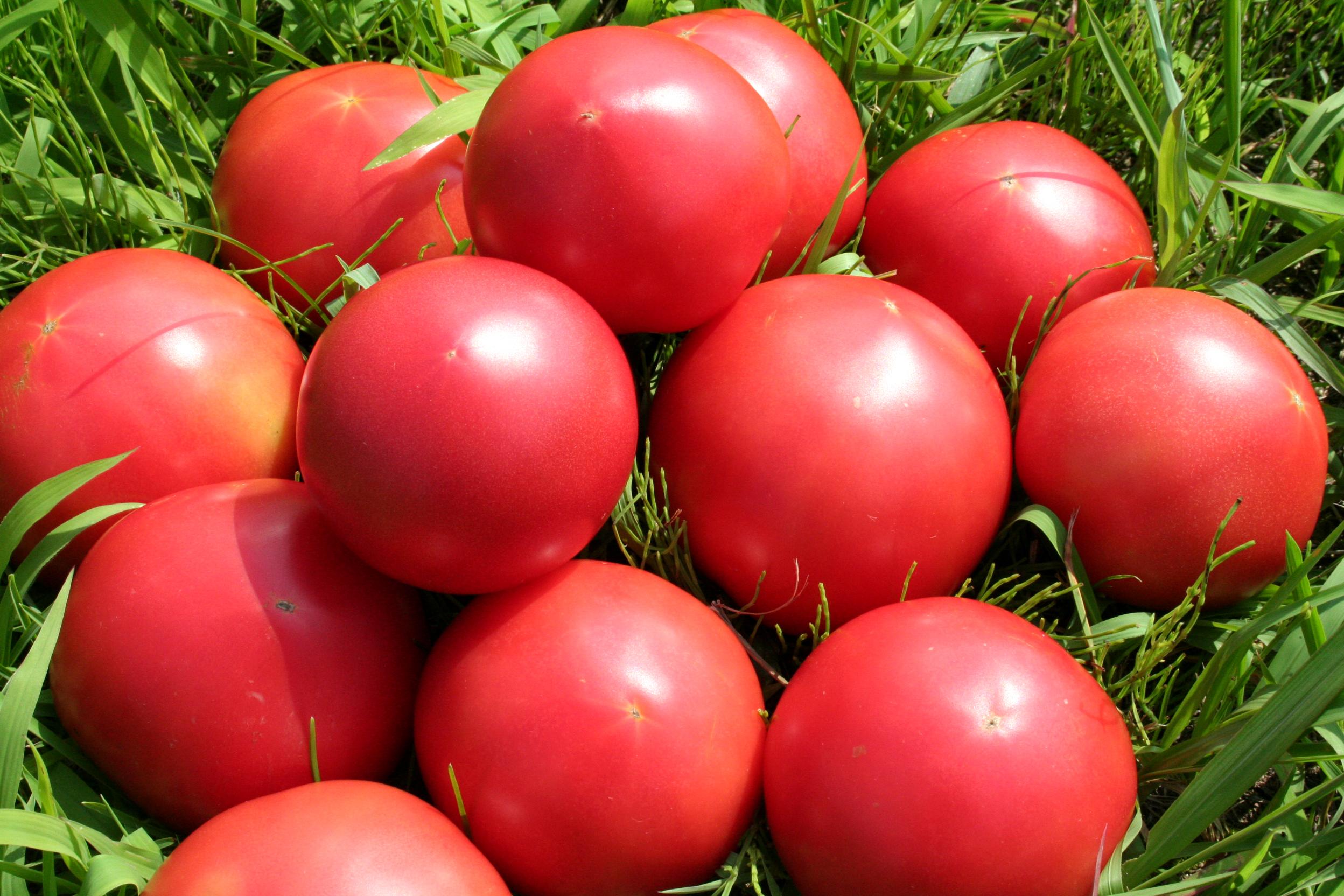 恵那の野菜 トマト