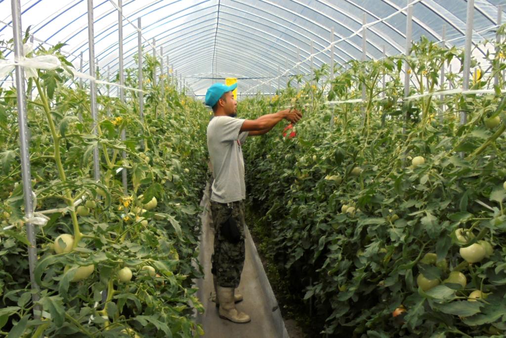 恵那の野菜 トマトの栽培