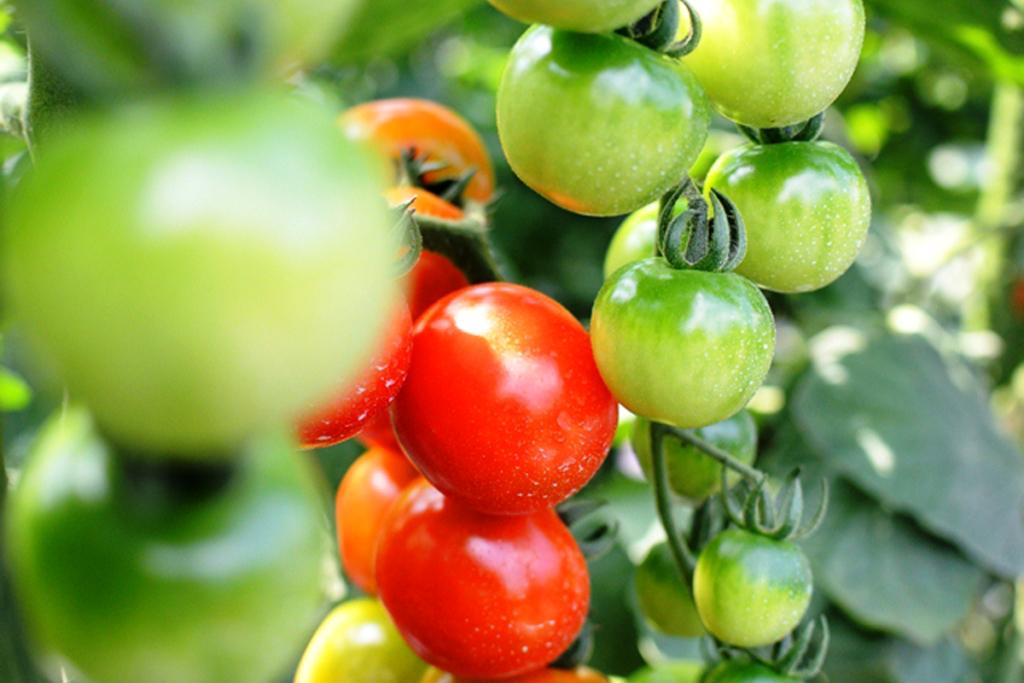 恵那の野菜 ミニトマト
