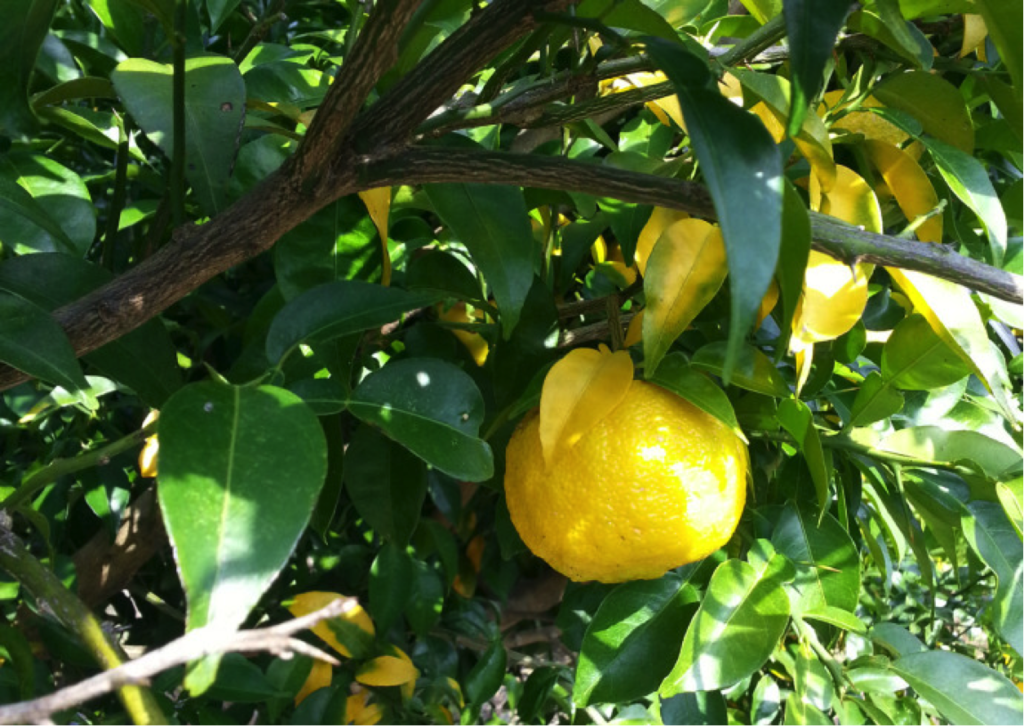 かさぎゆず組合 柚子